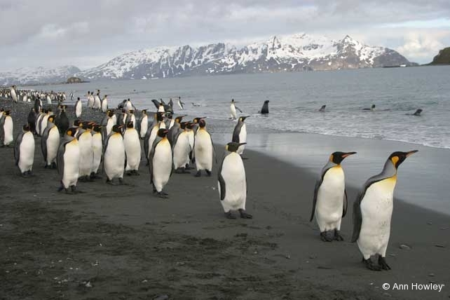King Penguins on Beach, Antarctica