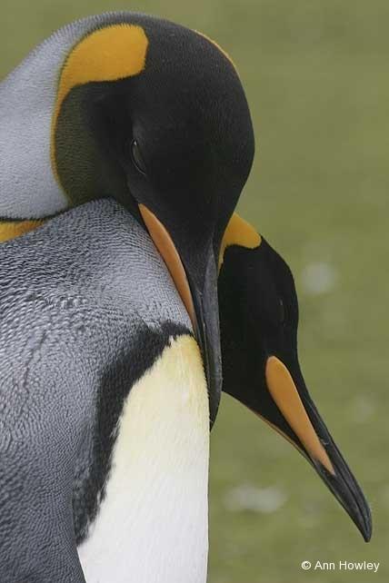 King Penguins Embrace, Antarctica