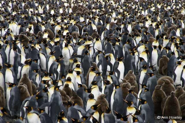 King Penguins Forever, Antarctica