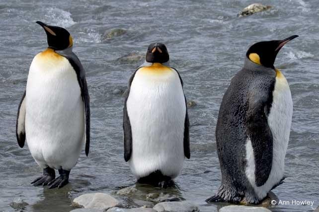 Three King Penguins, Antarctica