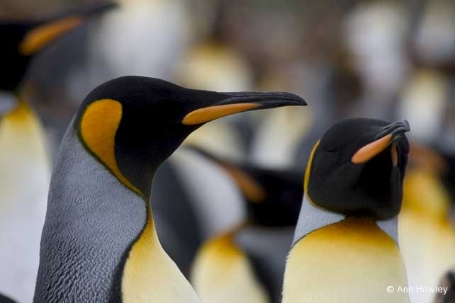 Two King Penguins, Antarctica