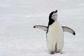 Christmas Penguin, Antarctica