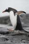 Walking Gentoo Penguin, Antarctica