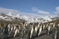 King Penguin Landscape, Antarctica