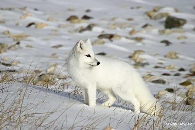 Arctic Fox, Canada