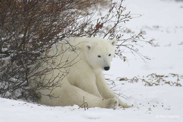 Sitting Polar Bear Canada