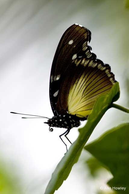 Uganda Butterfly