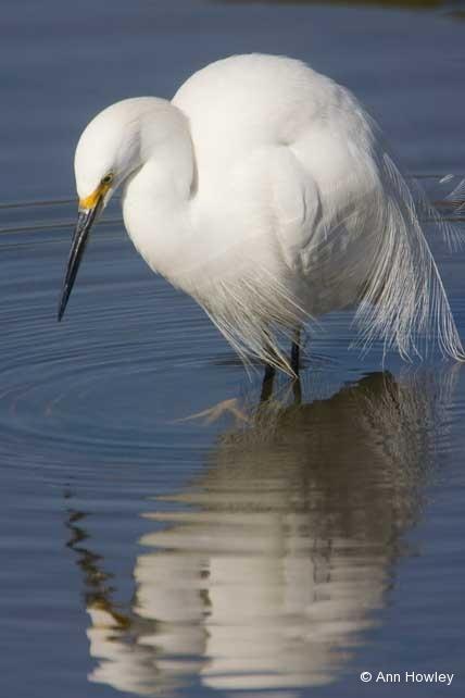 Snowy Egret, CA