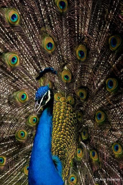 Peacock #2, Los Angeles Arboretum