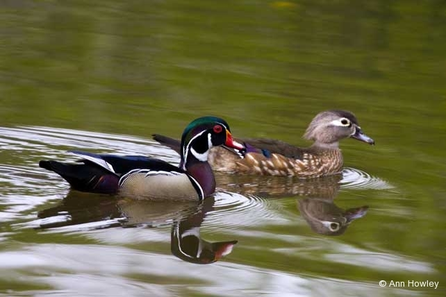 Wood Ducks, Los Angeles Arboretum