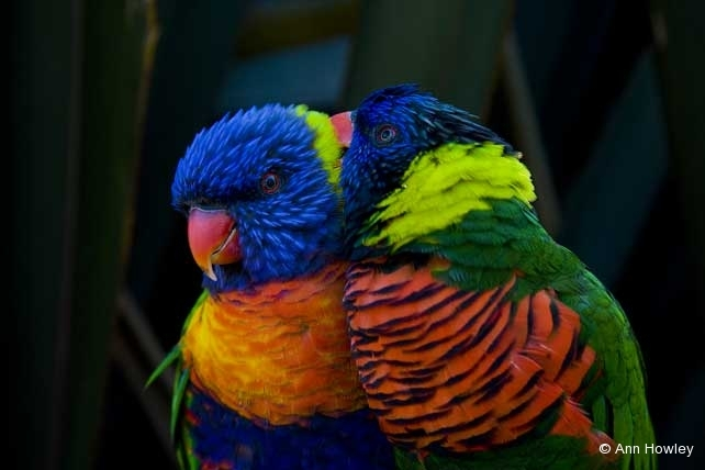 Lorikeets, Pacific Aquarium