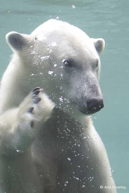 Polar Bear Swim, San Diego Zoo