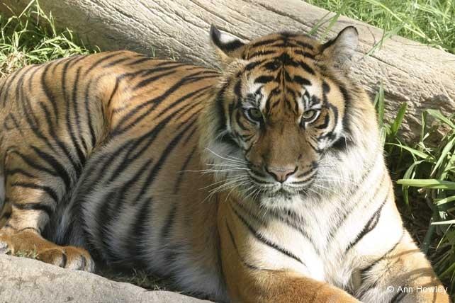 Tiger, Los Angeles Zoo