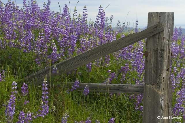 Bald Hills Lupine & Fence, California