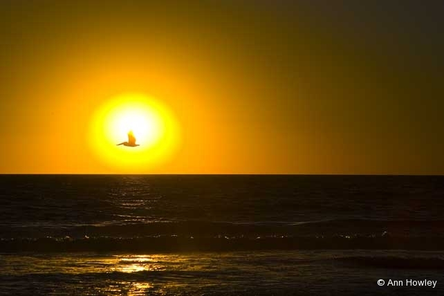 Pelican at Sunset, Venice, California