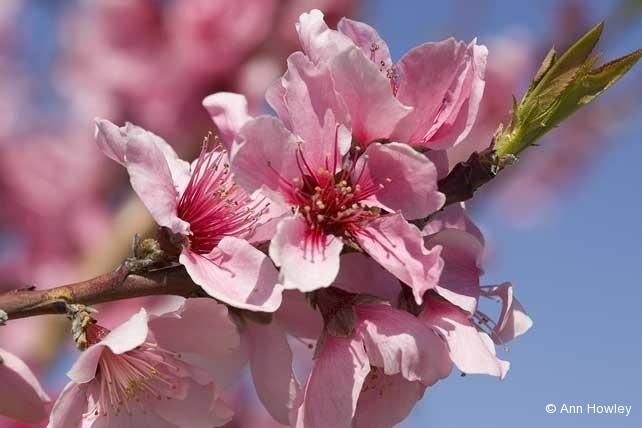 Blossom, CA