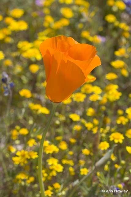 Poppy, CA