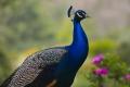Peacock #1, Los Angeles Arboretum