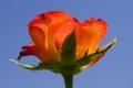 Descanso Rose & Sky, CA