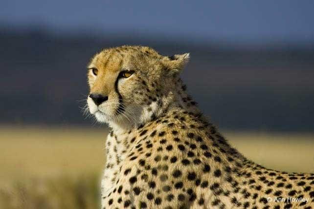 Cheetah #1, Kenya