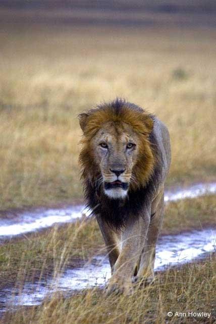 Male Lionon Road, Kenya