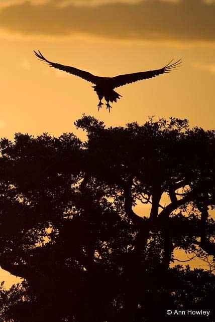 Vulture at Sunrise, Kenya