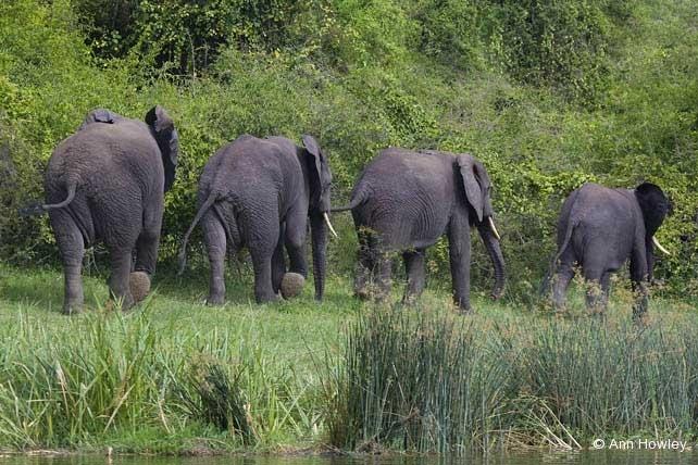 Elephant Stroll, Uganda