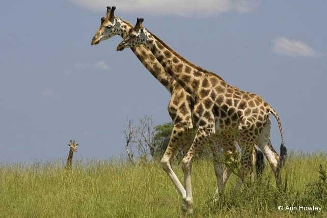 Giraffe Pair, Uganda