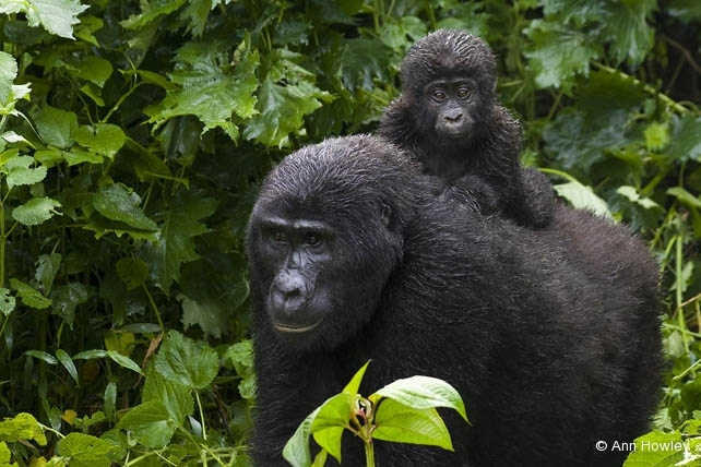 Mother & Baby Gorilla, Uganda