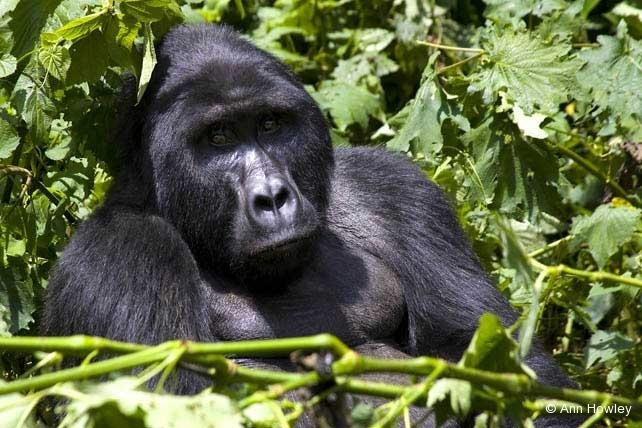 Silverback Gorilla, Uganda