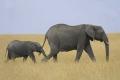 Elephant and Baby, Kenya