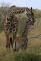 Giraffe and Baby, Kenya