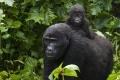 Mother & Baby Gorilla, Uganda