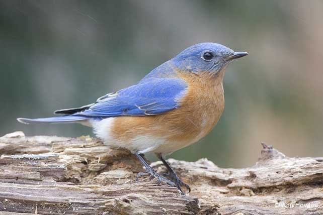 Eastern Bluebird, North Carolina
