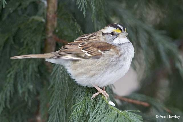 White Throated Sparrow, North Carolina