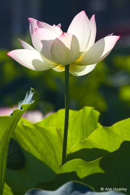 Lotus #4