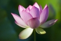 Lotus #5