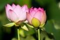 Lotus #6