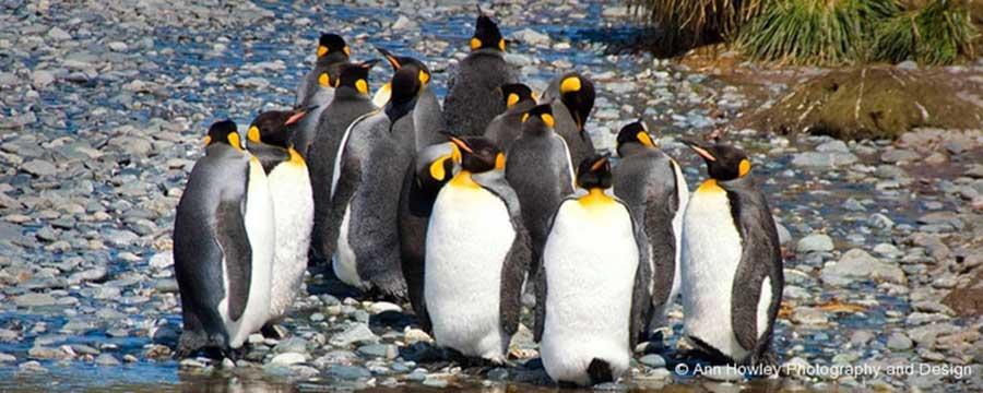Antarctic King Penguins