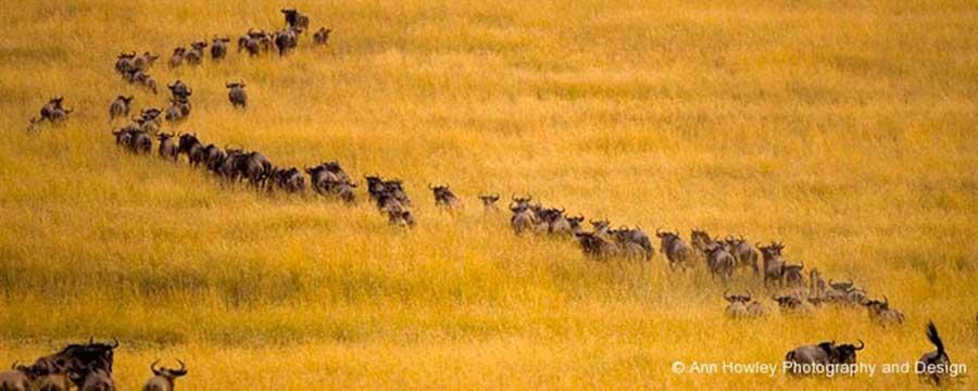 Wildebeast, Kenya