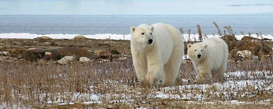 Mother and Baby Polar Bear, Canada