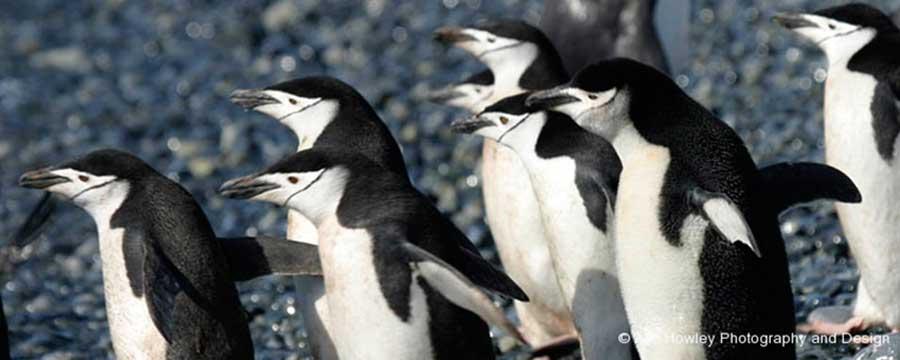 Antarctic Chinstraps