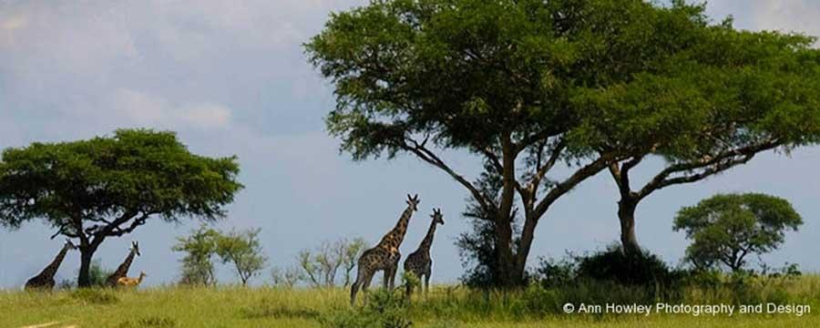 Giraffe Landscape, Uganda