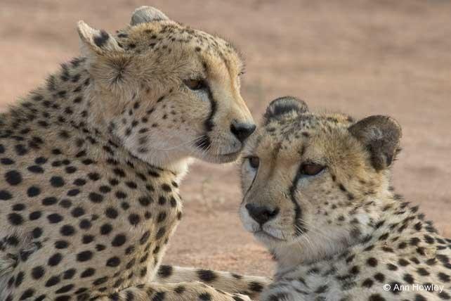 Two Cheetahs, Namibia