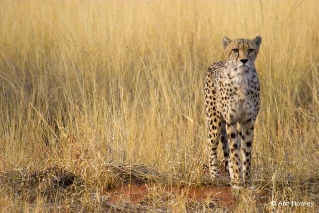 Cheetah in Grass, Namibia