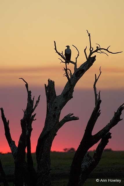 Eagle at Sunset, Namibia