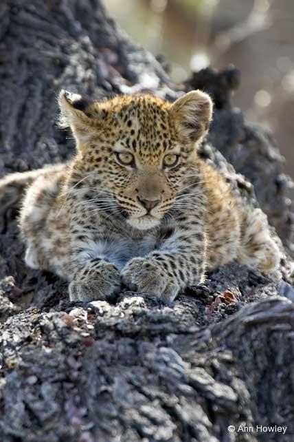 Leopard Cub, Namibia