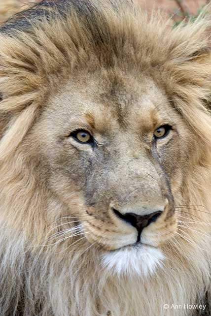 Male Lion, Namibia