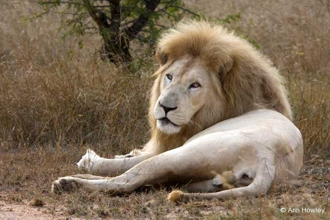 White Lion, South Africa