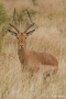 Male Impala, South Africa